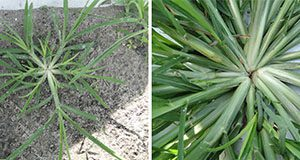 Figure 2. Goosegrass seedling (left) and mat-like rosette (right). Credits: Nathan S. Boyd, UF/IFAS