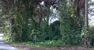 Infestación de batata aérea en Parque Snyder en Fort Lauderdale. Este fue uno de los primeros lugares de liberación de Lilioceris cheni.