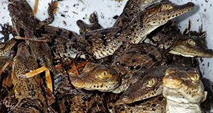 crocodile hatchlings; Michiko Squires, University of Florida