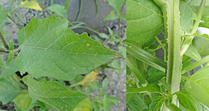 Figure 2. American black nightshade leaf (left) and stem (right). Credits: Nathan S. Boyd, UF/IFAS