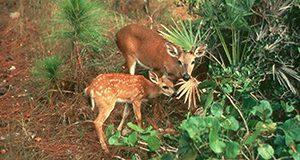Doe and fawn Florida Key deer foraging on palmetto scrub.