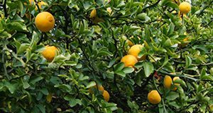 lemons on the tree at the MFREC