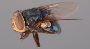 Cochliomyia hominivorax