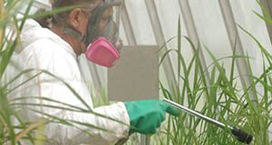 Herman Brown, a University of Florida agricultural assistant, sprays pesticide on transgenic rice plants in a greenhouse in Gainesville -- Friday, Oct. 10, 2003. Researchers at UF's Institute of Food and Agricultural Sciences are adding a gene to the plants to protect them from bacterial blight, which is a major disease for rice farmers in Africa and Southeast Asia.