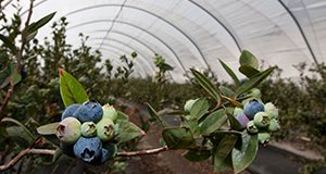 Cluster of blueberries.  Photo Credits:  UF/IFAS Photo by Tyler Jones