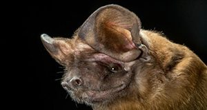 Florida bonneted bat Merlin Tuttle