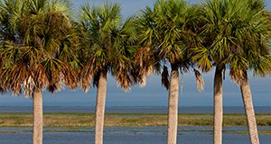 ADD TO LIGHTBOX DOWNLOAD  Description:  Cabbage palms and birds on Lake Okeechobee. Cabbage palm, sabal palm, Sabal palmetto, wading birds, bird, avian, lake, marsh, wetland. UF/IFAS Photo by Tyler Jones.