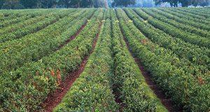 Blueberry field.