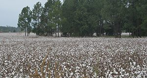 Cotton farm.