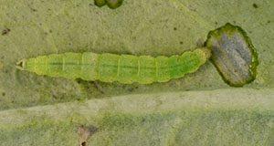 Figura 2. Larva de la palomilla dorso de diamante. Crédito: Lyle J. Buss, UF/IFAS