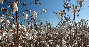 Chipley, Florida, farm, harvest, October, Washington County, cotton, combine. UF/IFAS Photo: Josh Wickham.