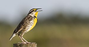 Western meadowlark perched on a fence post near Ona, Florida. UF/IFAS Photo by Tyler Jones.