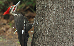 A woodpecker on an oak tree.  UF/IFAS Photo: Thomas Wright.