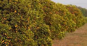 Citrus groves around Lake Alfred, Florida. Oranges, fruit, trees.