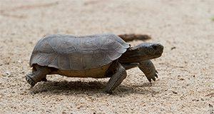Gopher tortoise on a sandy road