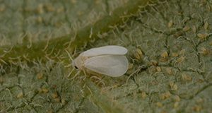 adult citrus whitefly, D. citri. Lyle Buss.