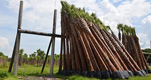 Sabal palms are held on a rack for six weeks.