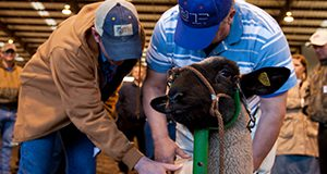 People judging sheep at the Animal Sciences Meat and Livestock Judging Clinic. Lambs, meat science. UF/IFAS Photo by Tyler Jones.