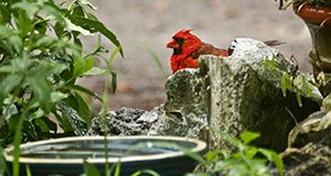 A male Cardinal at a birdbath, sprinkler, and birdfeeder. Extension calendar 2007.  UF/IFAS Photo: Thomas Wright