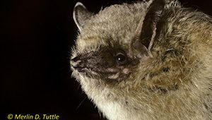 Tricolored bat (Perimyotis subflavus) from Tennessee.