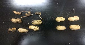 Root-knot nematode on causing galls on peanut pods and noninfested pods
