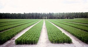 Improved bare root slash pine seedlings growing in a Florida forest tree nursery.