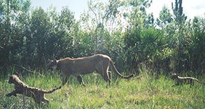 Florida panther and kittens courtesy Florida Fish and Wildlife Commission