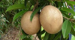 Sapodilla fruit on tree Jonathan Crane, UF/IFAS TREC