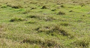 Closely grazed bahiagrass pasture with patches of brunswickgrass in late September (toward the end of the growing season) in Levy County, FL.