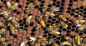 queen and ladies in waiting Credit: Scott Bauer, USDA/ARS
