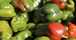 A pile of harvested bell peppers.  UF/IFAS Photo by Tyler Jones