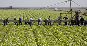 Workers picking and loading lettuce onto a conveyor belt UF/IFAS Photo by Tyler Jones.