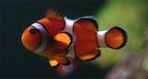 clownfish UF/IFAS