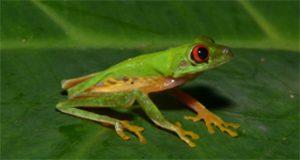 Red-eyed treefrog (Agalychnis callidryas) Mike Rochford, UF/IFAS