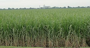 Sugarcane field in Belle Glade, Florida.