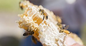Honeycomb with honey bees on it. Photo taken on 03-10-17. Camilla Guillen UF/IFAS