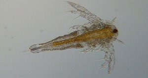 Picture of brine shrimp nauplius (nauplii are the first life stage after hatching). Cortny Ohs, UF/IFAS