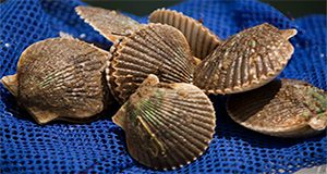 Florida bay scallops