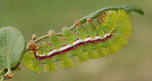 io moth caterpillar Automeris io
