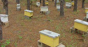 An apiary full of nucs for sale. Photo by Jamie Ellis.