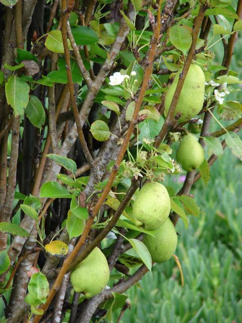 Figure 1. Common pear (Pyrus communis)