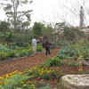 Figure 50. Vegetable & Dooryard Fruit Garden in Palm Beach County
