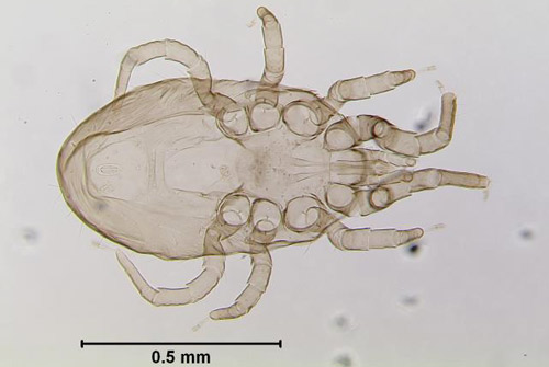 Chicken Mite (other common names: poultry red mite, roost mite) <i>Dermanyssus gallinae</i> (De Geer) (Arachnida: Acari: Dermanyssidae)