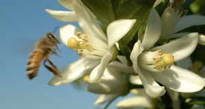photo of a bee hovering near a cluster of a citrus flowers, blue sky in the background