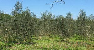 A healthy Arbequina olive grove in Volusia County, Florida.