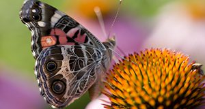Butterfly visits a coneflower. UF/IFAS Photo by Tyler Jones.