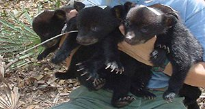A photo of Elina Garrison grad assistant holding three bearcubs about the size of housecats.