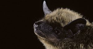 Evening bat (Nycticeius humeralis) from Texas. Portraits, Vespertilionidae, E North America to N Mexico