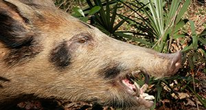 Feral hogs resemble domestic hogs, but are usually leaner