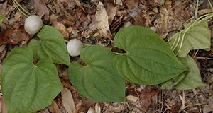 Air potato. Invasive yam species, perennial vine, poison plants. UF/IFAS Photo: Thomas Wright.